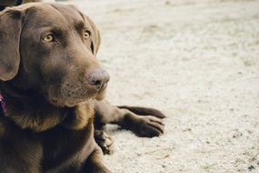 Brown Cute Labrador