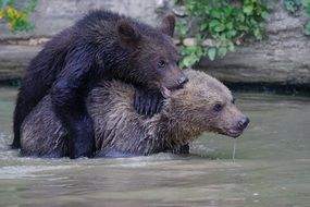 Two bears playing in the water near the rocks