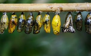 yellow cocoons of butterflies