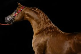 brown Arabian Horse at black background