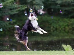 Soap Bubbles and Border Collie