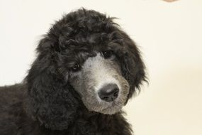 adorable and cute Puppy Poodle