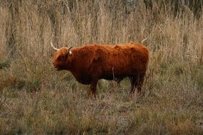 brown cattle in a wild pasture