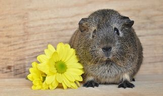 grey guinea pig smooth hair near yellow flowers