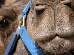 muzzle of a camel in a blue bridle