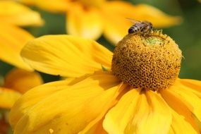 Insect on the sunflower
