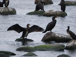 black cormorants in the bay