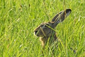 The hare is Hiding in the meadow Grass