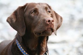 portrait of a brown Labrador