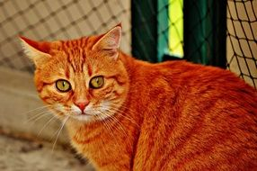 sitting red mackerel tabby cat