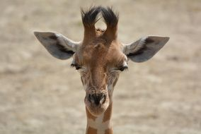 portrait of a young funny giraffe