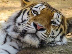 relaxing tiger in a zoo