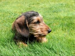 Miniature Dachshund resting on a grass