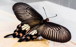 beatuful butterfly with black pattern