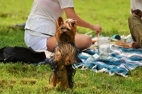 Yorkshire Dog standing on hind legs, people on Picnic at background