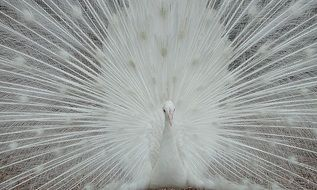 white peacock in all its glory