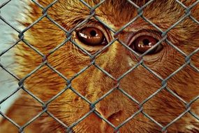sad monkey Imprisoned