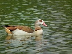 egyptian goose in the water