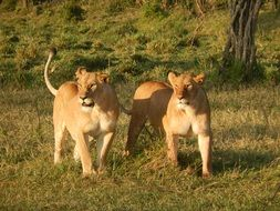 two lioness in the wildlife
