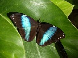 Beautiful tropical Morpho butterfly