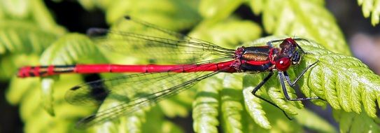 Red dragonfly on a green plant