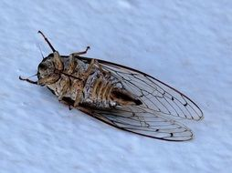big-winged dead insect