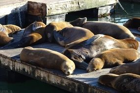 sea lions at pier in san francisco