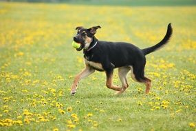 young dog running on summer meadow