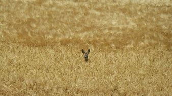 Roe Deer on the Golden field