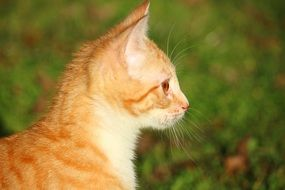 profile portrait of a young red cat