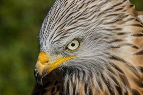 gray bird of prey with yellow beak close-up