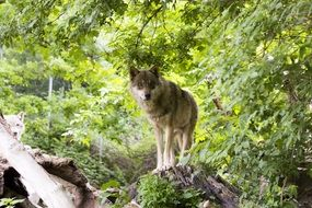 european wolf in the summer forest