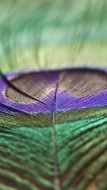 shiny peacock feather