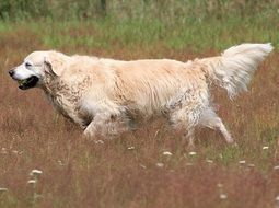 golden retriever on the summer meadow