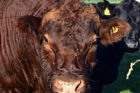 photo of the head of a brown bull in the pasture