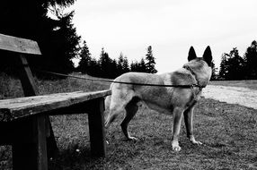 black white photo of a dog tied to a bench