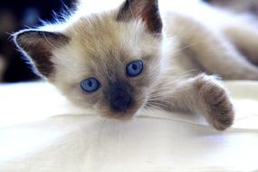 fluffy kitten with bright blue eyes