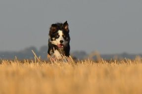 border collie running on the field