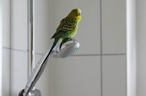 Green Budgie in a bathroom