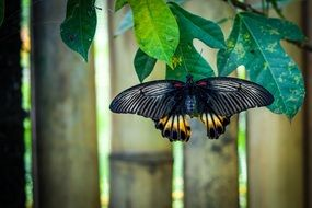 black Butterfly Animal Insect Close