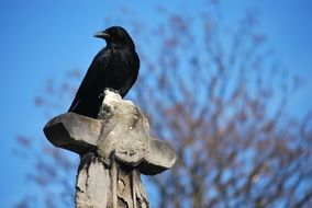 Picture of Raven in the wildlife