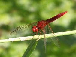 red dragonfly on a blade of grass close up