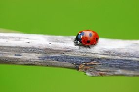 Ladybird winged insect