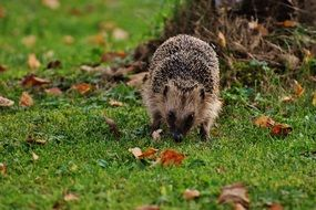 Hedgehog on a green grass
