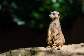 meerkat sitting on a stone in the forest