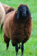 brown sheep on a green meadow