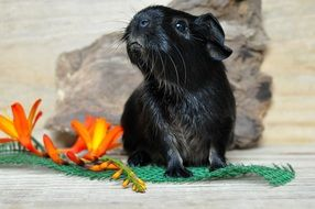 black young guinea pig