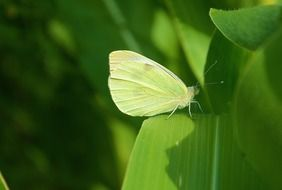 Green butterfly on green leaf