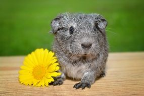 gray guinea pig and yellow flower