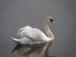 white Swan with open wings on calm water